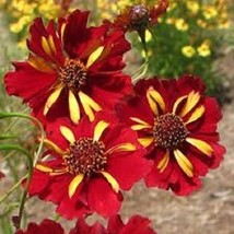 50+ COREOPSIS ROULETTE BI-COLOR  RE-SEEDING ANNUAL FLOWER SEEDS - £4.03 GBP