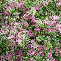 Variegated Weigela image 2