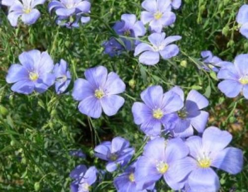 SHIPPED From US, BLUE LEWISII FLAX 100 FRESH SEEDST*FREE US SHIPPING-SPM - $16.99