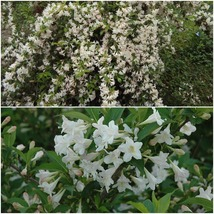"Home Garden Outdoor Living - White Weigela 4"" pot (Weigela florida white) - $33.99"