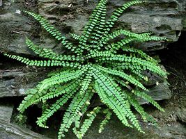 Maidenhair SPLEENWORT fern 20 rhizomes-(asplenium platyneuron) image 3