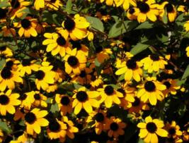 500 Pcs Seeds Rudbeckia Triloba Brown Eyed Susan Flower - DL - $14.00