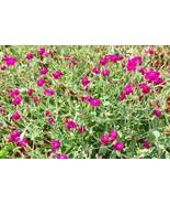 100 Seeds Rose Campion Lambs Ear Magenta Pink Wildflowers Lychnis coronaria - $13.49