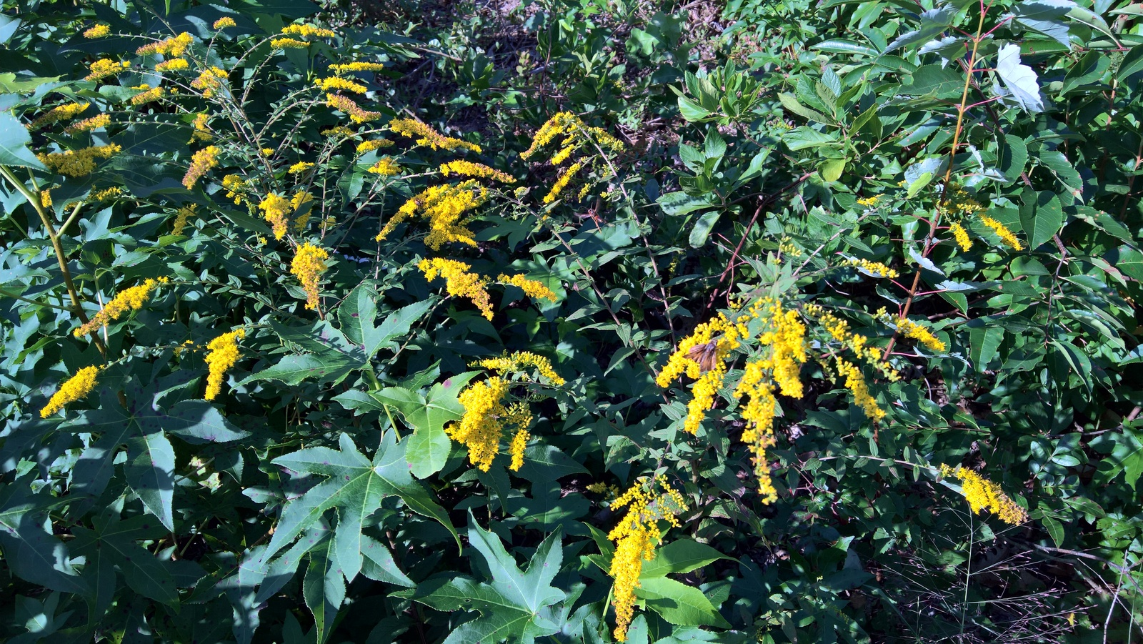 Organic Native Plant, Solidago rugosa, Wrinlkle Leaf Goldenrod,  Pollinators