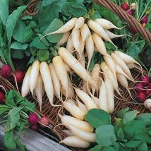Radish Seeds - White Icicle - Vegetable Seeds - Outdoor Living - FREE SHIPP - $28.99+