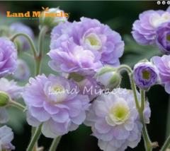 5 SEED Rare 'Summer Skies' Geranium Bonsai Seeds A - $4.65