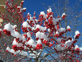 Winterberry Holly, Ilex verticillata, Shrub 30 Seeds (Hardy, Showy) - $10.99