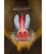 Mandrill - Colorful Face Monkey Baboon Wild Ani... - $21.90