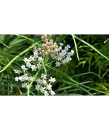 Organic Native Plant, Whorled Milkweed, Asclepias verticillata - $3.50