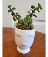 Succulent in Face Planter, Elephant Bush Live Plant in White Ceramic Pot... - $14.99