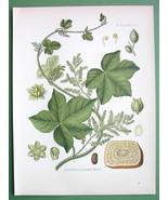 COLUMBA Medicinal Plant Jatrorhiza Palamata - COLOR Litho Botanical Prin... - $26.01