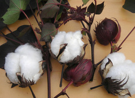 50Seeds Confortable White Cotton Seeds  - $11.60