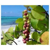 SeaGrape Coccoloba uvifera UVA CALETA UVA DE PLAYA 7 INCHES TALL  Live P... - $24.99