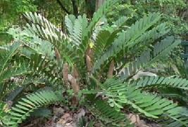 1 Rooted of Zamia Furfuracea Jamaican Sago Tree - $79.19