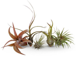 5 Pack Assorted Tillandsia Easy Care Air Plants Collection Green Garden ... - $28.04