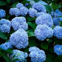 Starter Plant - Hydrangea Macrophylla - Nikko Blue - $61.49