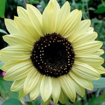 15 Monthly Sunflower Seeds Helianthus Annus Beautiful Garden Flowers Seeds A302 - $13.58