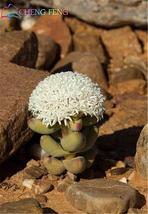 100pcs Lithops plants rare Cactus plants Flower (2), HZ Beautiful Flower... - $8.89