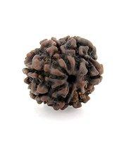 7 Mukhi Nepal Rudraksha,7 Face Brown Rudraksha Bead 100% Original Rudraksha - $28.00