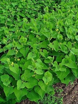 10 Birthwort Seeds (ARISTOLOCHIA clematitis Osterluzei) European pipevine - $13.33