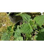 4+ Live Stinging Nettle Plants (Urtica dioica) + 16,000 Seeds 6 inches Tall - $25.74