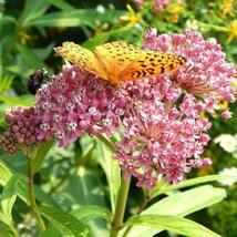 SHIP FROM US 4,500 Rose Milkweed Seeds or Pink Swamp Butterfly Weed, ZG09 - $94.76
