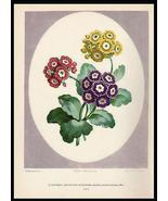 Auricula Flowers Edwards  Varied Botanical Print 1938 Dunthorne - $19.99
