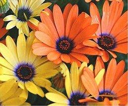 African Daisy Mix- 100 Seeds - $1.29