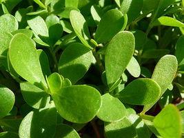 4000 Green Purslane Seeds Healthy Herb Portulaca Oleracea Duckweed - $1.79