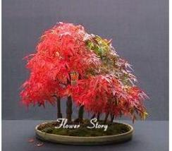 BEST PRICE 20 Seeds Japanese Maple Tree Plants,FS DIY Tree Seeds - $6.88