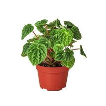 "Peperomia Ripple plant in 4"" pot - Houseplant Garden - Outdoor Living - D11 - $39.99"