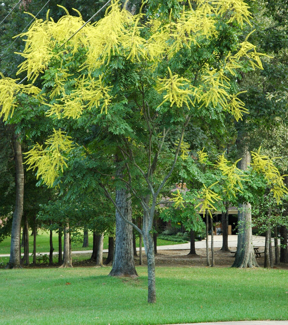 Tree Seeds Fast, Fall Color, Showy Golden Raintree Koelreuteria paniculata