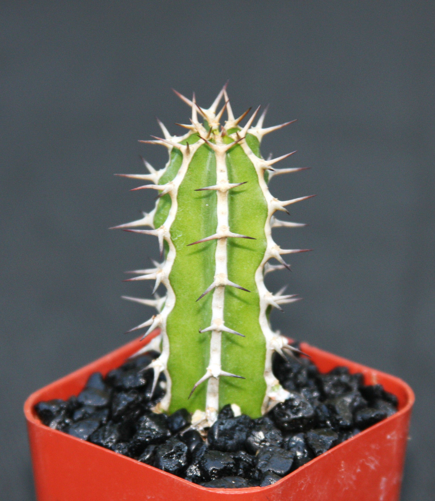 "Primary image for SHIP From US, 2"" pot EUPHORBIA GRANITICOLA, succulent plant cacti ECC"