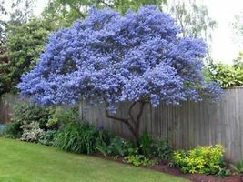 50 Creeping Mountain Lilac Seeds Tree Fragrant Hardy Perennial Flower - TTS - $29.95