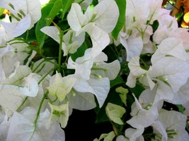5 Green Bougainvillea 'White Stripe' Tree Cutting - $33.82