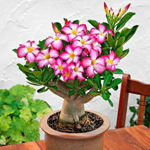 Desert Rose One Year Bare Rooted Baby Plant Caudex Bonsai USA Fast Ship - $28.68