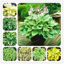Hosta Plants Seeds Hosta 'Whirl Wind' In Full Shade Hosta Flower Flower ... - $4.39+