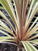 Live 5-gallon Plant Cordyline Torbay Dazzler - $37.05