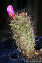 Rare Mammillaria Fuscata @J@ Exotic Cacti Pincushion Cactus Seed 20 Seeds - $18.00