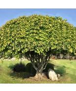 Sacred Fig Tree Seeds | Bodhi Tree Seeds | 10 seeds - $13.42