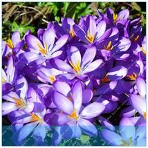 100PCS Crocus sativus Flower Home Garden Bonsai DIY Plant Semillas - $2.99
