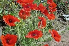 CORN POPPY 1000+ SEEDS ORGANIC, BRILLIANT RED FLOWER, BEAUTIFUL RED BLOOMS - $10.99