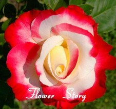 100 Double Delight Hybrid Tea Rose Seed DIY Home Garden Bush Bonsai Yard Flower - $7.00