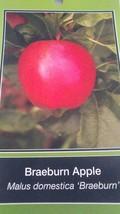 4'-6 FT live Braeburn Apple Fruit Tree Plant Live Trees Juicy Fresh Apples Home - $96.95