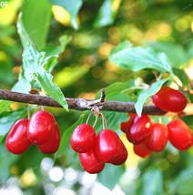 10 Pcs/Bag Cornelian Cherry Seeds (Cornus Dogwood ) A Fruit Seeds For Eu... - $4.76