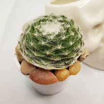 "Sempervivum Succulent in Ceramic Skull Planter 3.5"", Hens & Chicks Live Plant image 3"