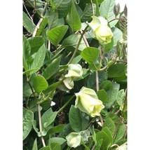 5 Cup & Saucer Vine Cathedral Bells Cobaea Scandens Climber Hummer Flower Seeds  - $20.17