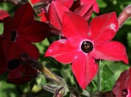 50 Seeds of Nicotiana Perfume Red Pelleted Annual - $16.83
