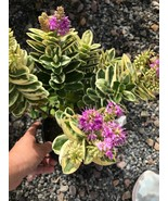 Veronica Hebe Variegated With Purple Flowers. Gardening Live Plant tkgc - $93.00