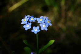 SHIP FROM US 1,500 Forget Me Not Seeds, ZG09 - $17.16